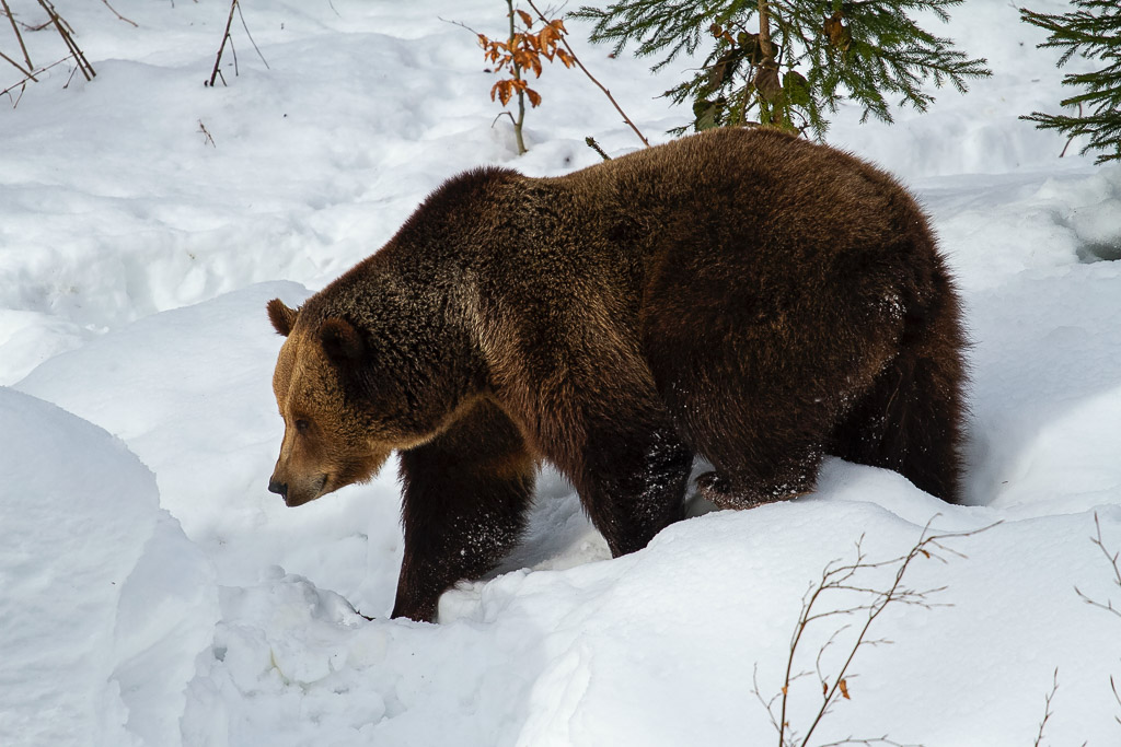 brown bear hit by plane
