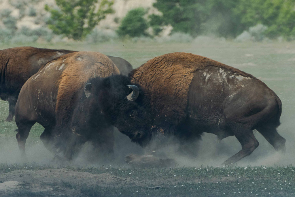 bison attack south dakota