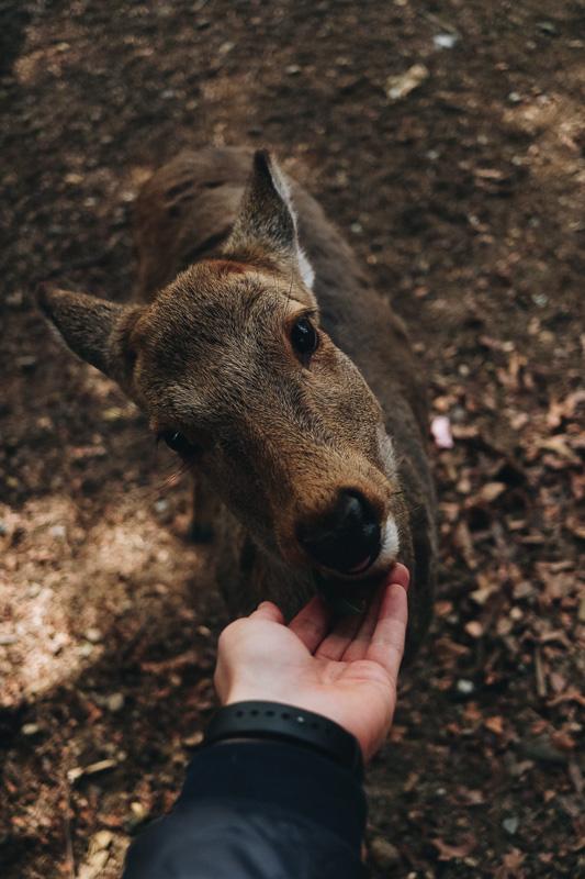 deer feeding nara park japan